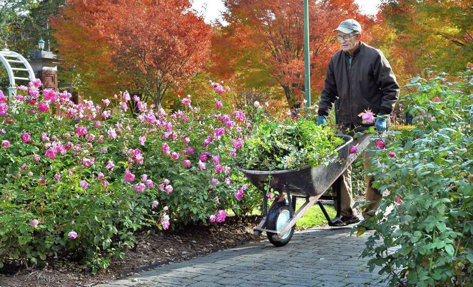 Garden operations supervisor volunteer Dave Gade cleans up a bed of Brilliant Pink Iceberg roses in Central Park's Rose Garden Tuesday Oct. 27, 2015 in Schenectady, NY.  (John Carl D'Annibale / Times Union) Photo: John Carl D'Annibale
