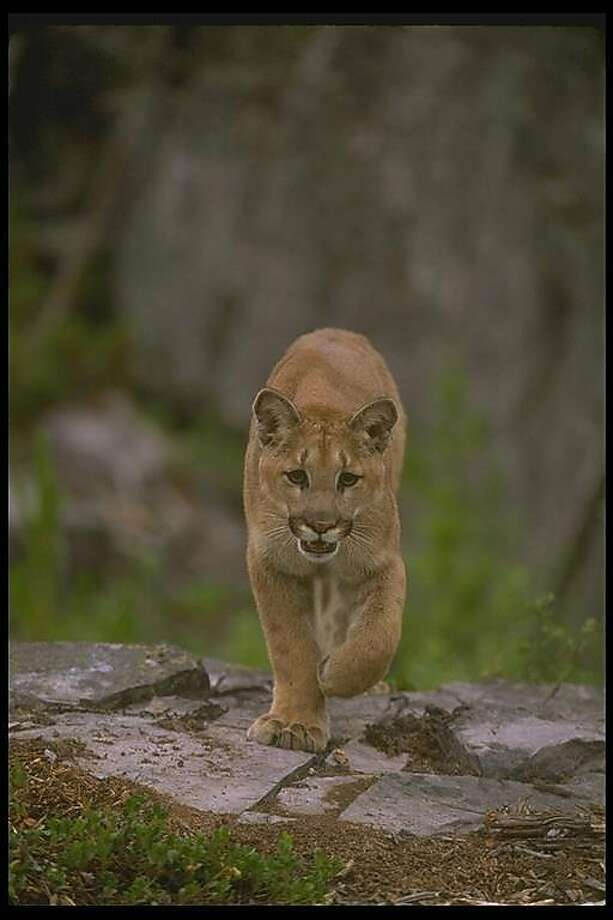 A nearly 100 pound mountain lion was found dead after apparently being struck by a car in Sonoma County, officials said. Photo: Cal. Dep. Of Fish & Wildlife