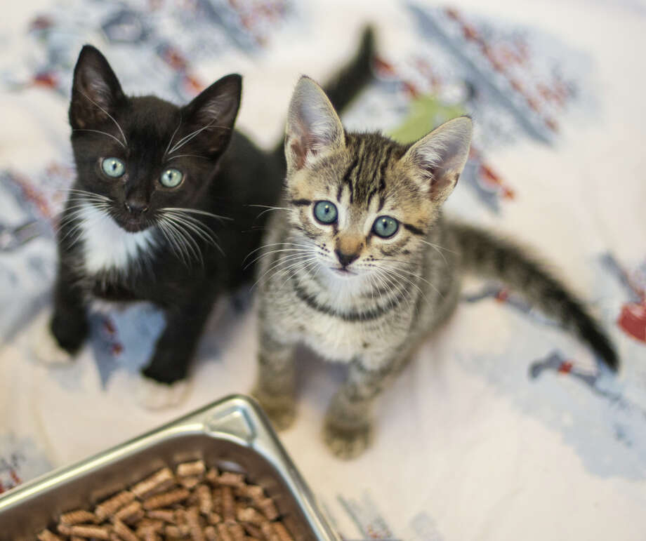 To celebrate National Cat Day, Uber is adding kitten visits to its on-demand services. UberKittens will be available in San Francisco, Berkeley, Oakland, Alameda, Sausalito, Tiburon, Mill Valley, Larkspur, San Jose, Palo Alto, Mountain View and Sunnyvale. Photo: Peninsula Humane Society / Justin Schlesinger
