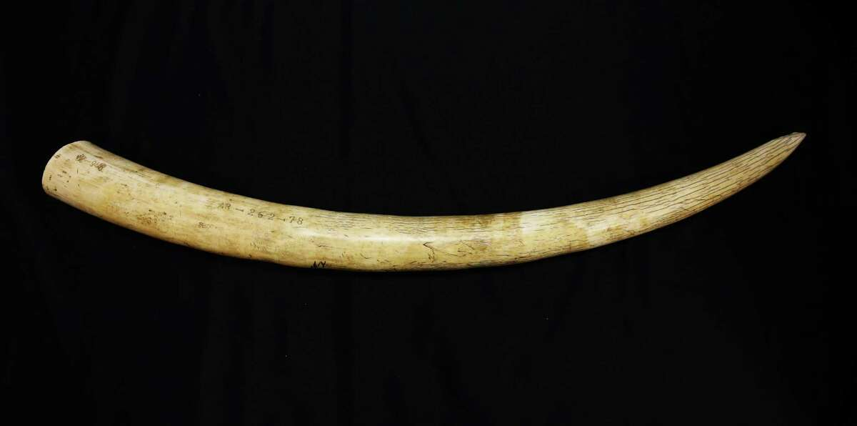 An elephant tusk was among the animal products displayed at an event held by the Yes on I-1401 campaign at the Woodland Park Zoo,. According to the campaign