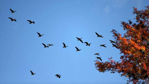 A large number of geese fly in a southerly direction over the Darly Farm compound Friday morning Oct. 23, 2015 in Saratoga Springs, N.Y.    (Skip Dickstein/Times Union) Photo: SKIP DICKSTEIN