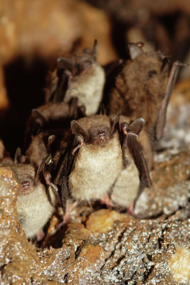 Worldwide there are more than 1,300 species of bats; Connecticut has only nine native species. This one is a little brown bat. Note: photo has been turned upside down to better see the bats. Photo: Paul J. Fusco / CT DEEP-Wildlife