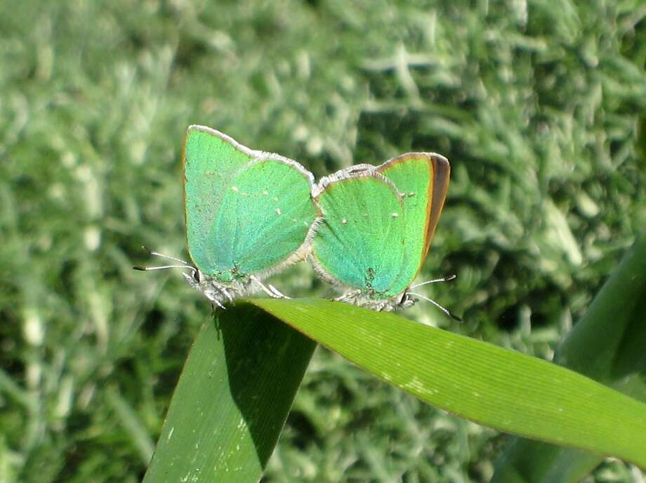 Two Green Hairstreak butterflies: You can volunteer to plant habitat for the Green Hairstreak butterfly on Nov. 21 in S.F. Photo: Matthew Zlatunich