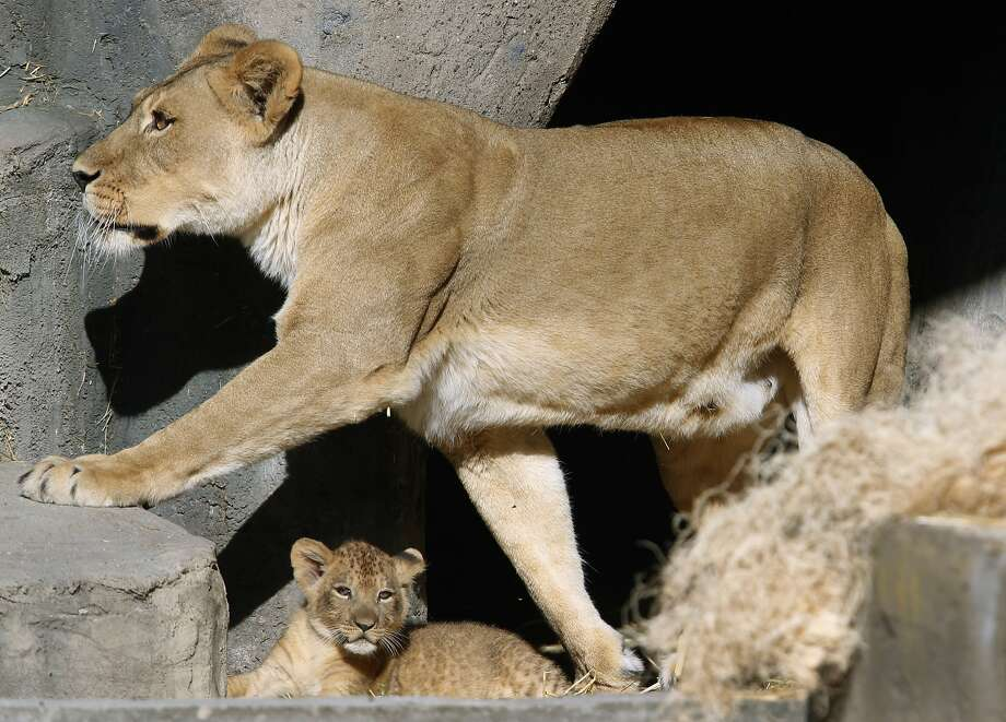 Sukari treads lightly over her new lion cub during a brief outdoor encounter for the young male at the San Francisco Zoo in San Francisco, Calif. on Thursday, Oct. 29, 2015. The male lion cub, born on Aug. 30, makes his official public debut on Saturday. Photo: Paul Chinn, The Chronicle