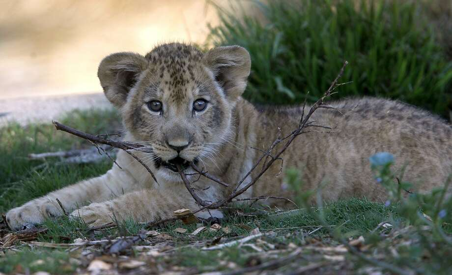 Sf zoo introduces 2 month old male lion cub with pride san a male lion cub gnaws on a branch in his outdoor home at the san francisco publicscrutiny Image collections