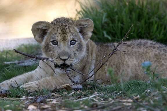 A male lion cub gnaws on a branch in his outdoor home at the San Francisco Zoo in San Francisco, Calif. on Thursday, Oct. 29, 2015. The male lion cub, born on Aug. 30 to his mother Sukari, makes his debut to the public on Saturday.