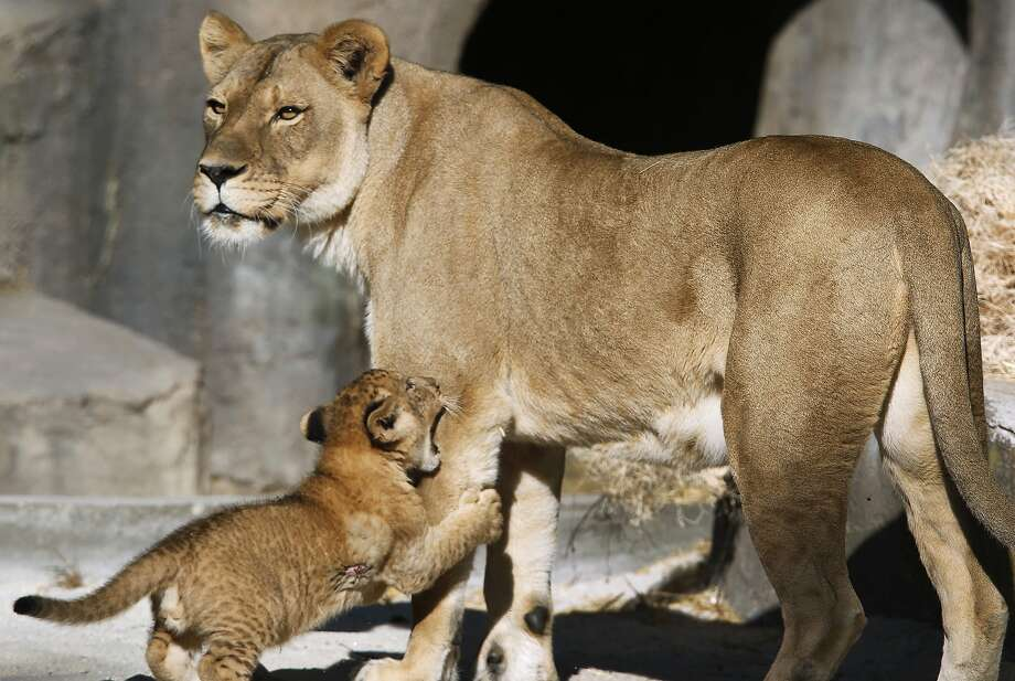 A male lion cub latches onto his mother Sukari at the San Francisco Zoo on Thursday, Oct. 29, 2015. The male lion cub, born on Aug. 30, makes his official public debut on Saturday. Photo: Paul Chinn, The Chronicle