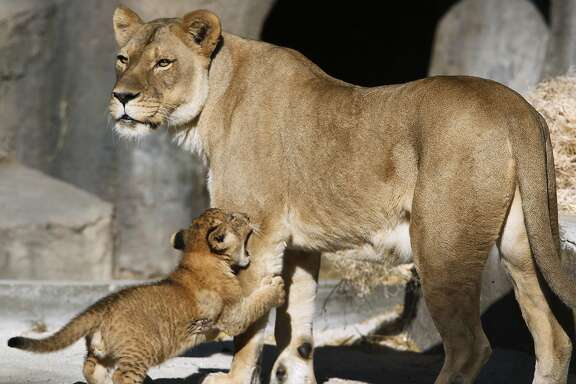 A male lion cub latches onto his mother Sukari at the San Francisco Zoo in San Francisco, Calif. on Thursday, Oct. 29, 2015. The male lion cub, born on Aug. 30, makes his official public debut on Saturday.