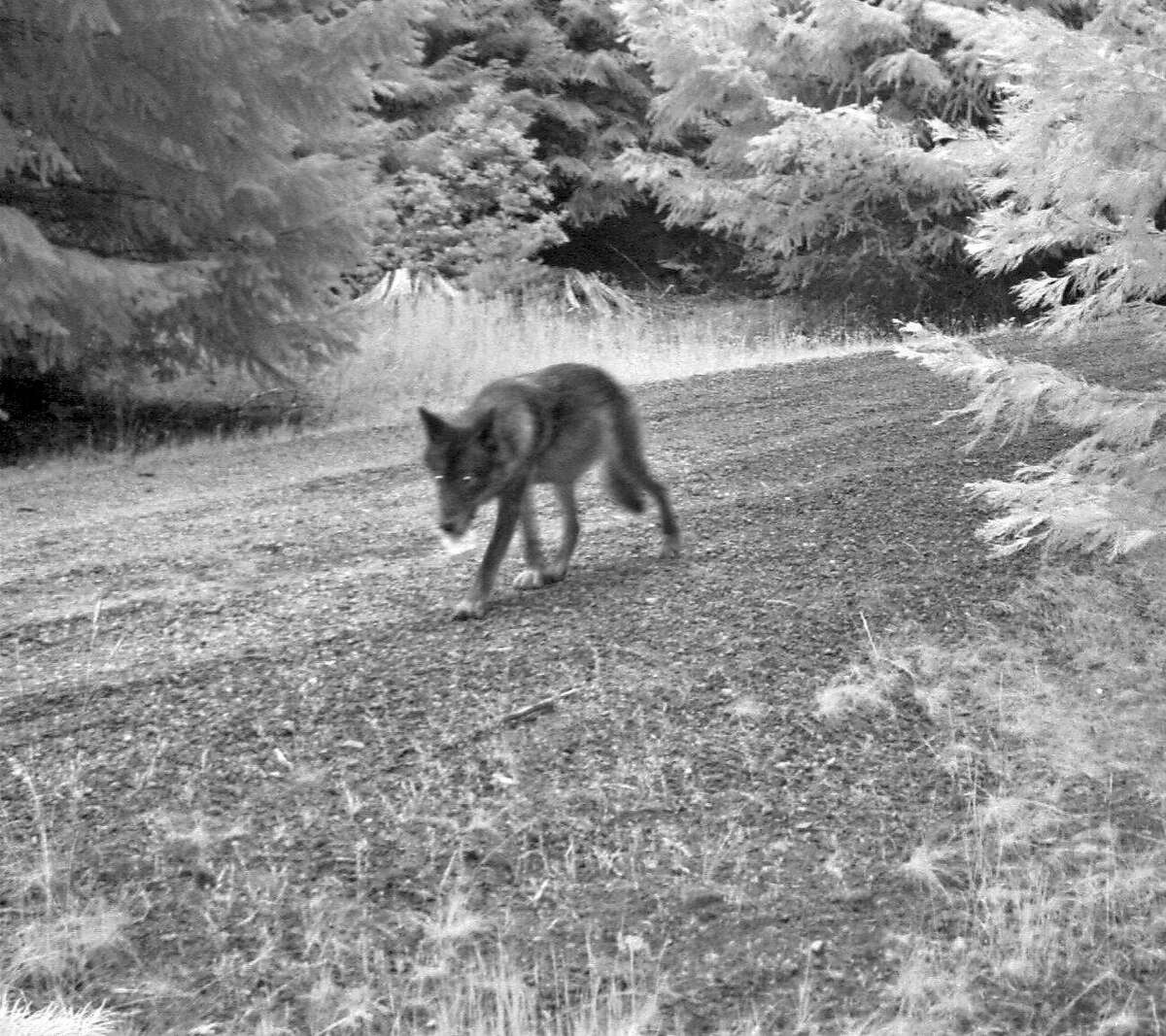 This July 12, 2014 image released by the U.S. Fish and Wildlife Service, shows what is believed to be the mate of OR-7 seen in a screen grab from a remote trail camera in Rogue River-Siskiyou National Forest, Ore. New photos show that Oregon's famous wandering wolf, OR-7, has at least three pups that he and a mate are raising in the Cascade Range of southern Oregon. U.S. Fish and Wildlife Service biologist John Stephenson said Friday, July 25, 2014 that the photos show two gray pups.The battery of the radio collar worn by OR-7, whose historic journey through California made him an international sensation, ran out in May 2015. Wildlife officials are going into the field and tracking howls to try to track him.(AP Photo/U.S. Fish and Wildlife Service)