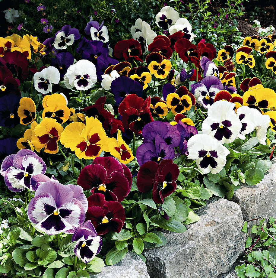 Plant a mass of pansies, multicolor or single, for color through early spring. Photo: Associated Press File Photo / GOLDSMITH SEEDS