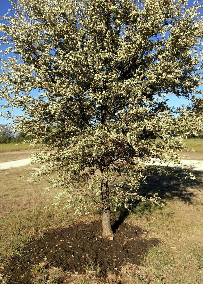 Dead leaves on a live oak indicate injury or too little water at some point. Photo: Courtesy Photos