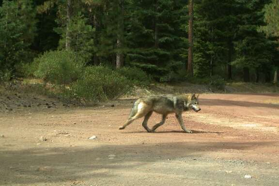 Photo taken Sept. 30, 2015 shows one of the offspring of ex-California wolf OR-7. The photo was taken in the Southern Oregon Cascade Mountains.