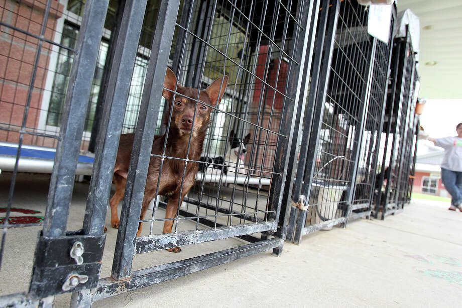 """A small dog named """"Guerra"""" waits nervously as he, along with several other dogs positioned in front in cages, is on the urgent list, soon to be euthanized at Animal Care Services  on June 17, 2014. Photo: TOM REEL"""