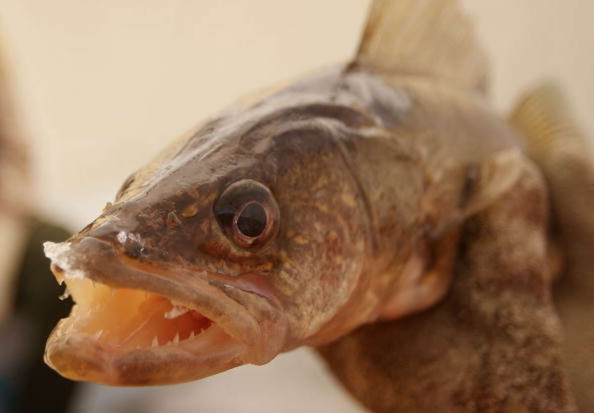 3. Walleye These carnivores have teeth both in their jaws and the roof of their mouth. It is common for them to be stocked in Texas lakes, so watch out!