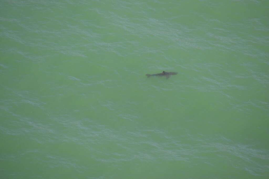 Coast Guard photos catch great white sharks in action off Pacifica 1024x1024