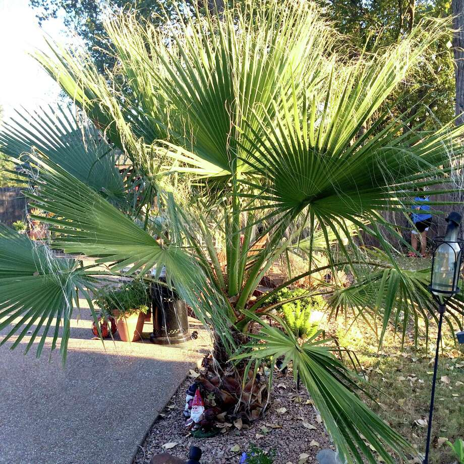To protect spreading types of sub-tropical plants like this palm, gather the leaves together by wrapping them from the lowest leaves upward before wrapping them for the winter. Photo: Courtesy Photo