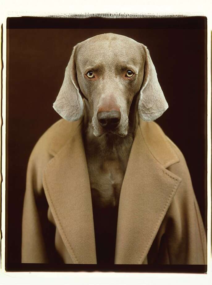 """Perfect coat Join Max Mara for an evening celebrating artist William Wegman's """"Dogs in Coats"""" series, featuring Polaroids of Weimareners in the brand's iconic 101801 camel coat. Attendees will also have a chance to purchase one of only 30 limited editions of the coat, which have been brought back exclusively for the event. Thursday, Nov. 12, 6-8 p.m. 175 Post St., S.F. RSVP: mmsanfrancisco.usa.maxmara.com. Photo: William Wegman, Max Mara"""