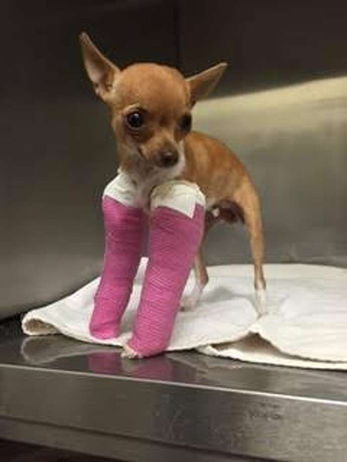This Chihuahua puppy was found abandoned in a trash bin with two broken legs in a Santa Rosa Junior College parking lot Oct. 27, 2015. Photo: Courtesy, Santa Rosa Junior College Police