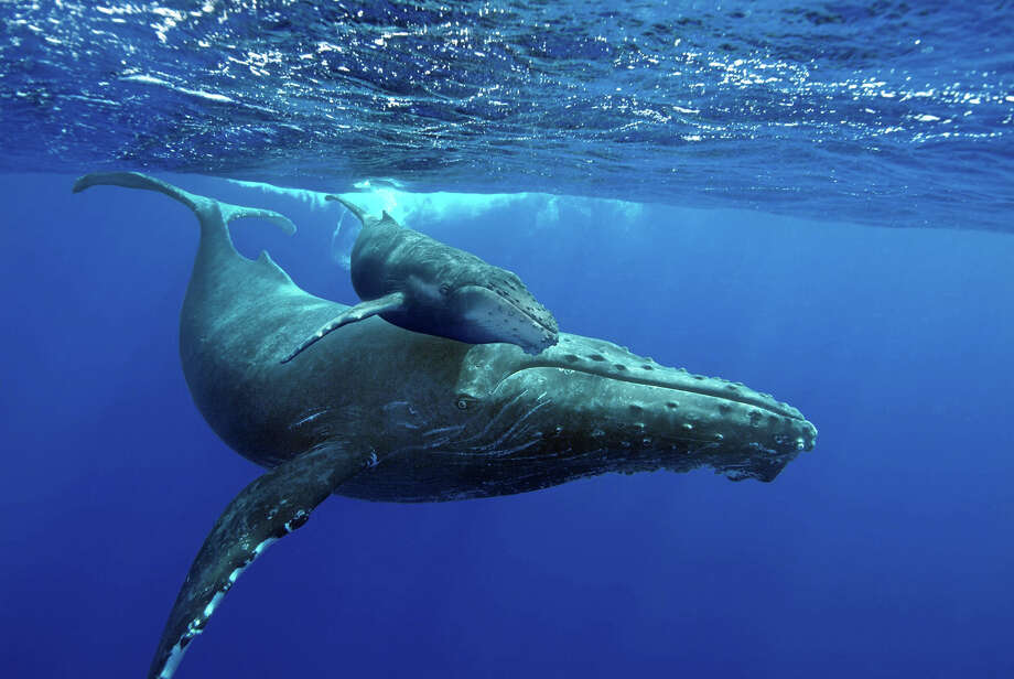 """A mother humpback whale and her calf in a scene from """"Humpback Whales,"""" an IMAX movie now showing at The Maritime Aquarium at Norwalk. Photo: Brandon Cole / Contributed Photo / The News-Times Contributed"""