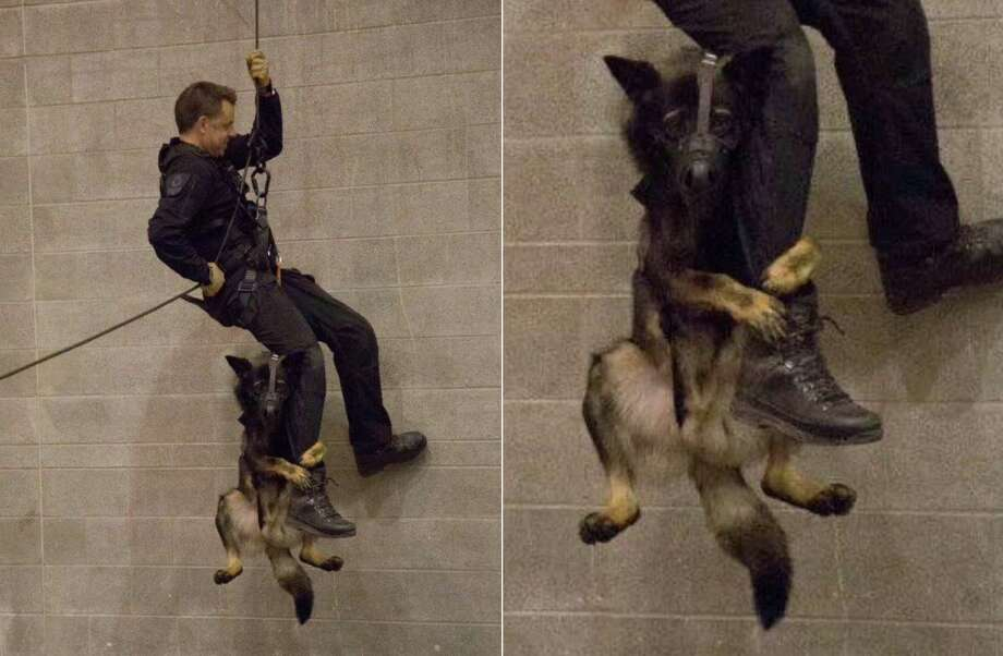 I just wanted to go for a walk! A Vancouver Police Department German shepherd known as  K-9 Officer Niko rappels down a wall with his handler. Photo: Vancouver Police Dept.