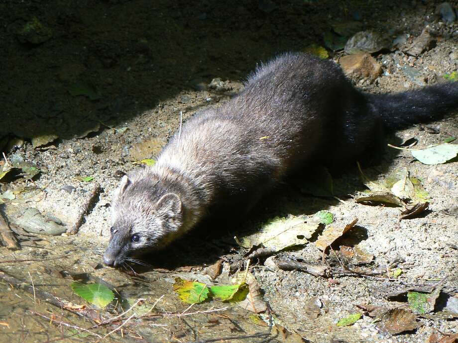 The Pacific fisher is a rare mammal that researchers find is being killed by rat poison. Photo: Cale Myers, Hoopa Tribal Forest