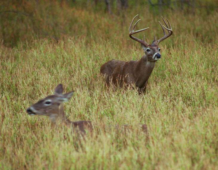 Good-to-great habitat conditions during spring and summer mean most of Texas' 4 million or so white-tailed deer, the largest deer herd in the nation, head into autumn in excellent body condition with above-average antler development, state wildlife biologists say.