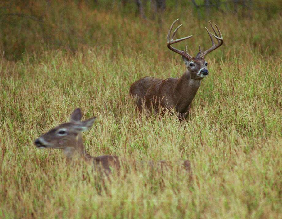 Good-to-great habitat conditions during spring and summer mean most of Texas' 4 million or so white-tailed deer, the largest deer herd in the nation, head into autumn in excellent body condition with above-average antler development, state wildlife biologists say. Photo: Shannon Tompkins / HOUSTON CHRONICLE