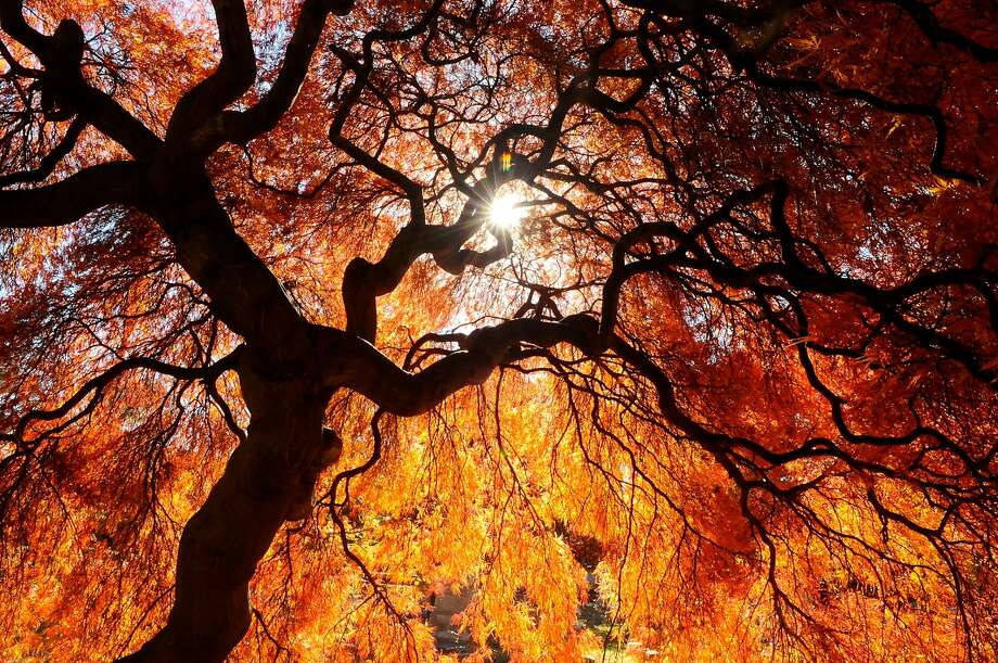 Sun shines through a Japanese Maple tree at Charles Baber Cemetery in Pottsville, Pa., on Wednesday, Nov. 4, 2015. The cemetery is the largest green space and also serves as a garden park with tree-lined walking paths, a small spring fed pond and a meditation area. Photo: Jacqueline Dormer, Associated Press