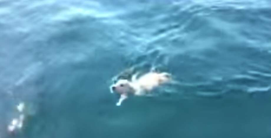 A lost Labrador retriever named Noodle paddles in the the Gulf of Naples in Italy. Photo: RYCC Savoia, YouTube