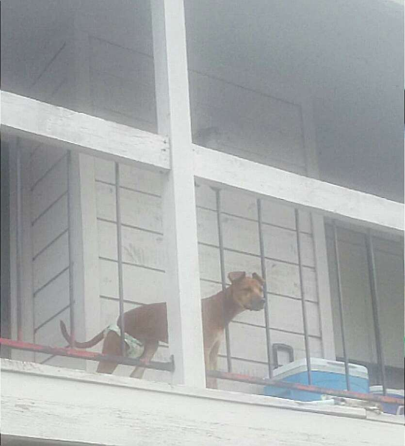 This dog, allegedly left outside on a balcony for a week, was the subject of Facebook posts that led to a northwest Harris County woman's arrest Nov. 3, 2015. (Via Facebook)