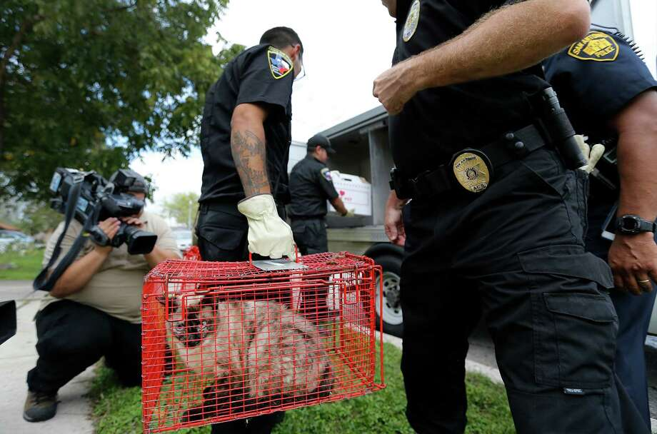 Animal Care Services officers remove over 20 cats from a home on the 2800 block of Shadow Way on Thursday, Nov. 5, 2015. ACS officials said they have had issues with the owner on one other occasion and were checking on her when officers discovered the horrid conditions inside her home with cats strewn throughout the house. San Antonio Fire Department was called out to exhaust the high levels of ammonia from inside the home before ACS officers could extract the cats. Several charges await the homeowner from various agencies including Code Compliance and Animal Care Services. The cats will be taken to ACS for assessment and likely will be placed for adoption in the future. Photo: Kin Man Hui, San Antonio Express-News / ©2015 San Antonio Express-News