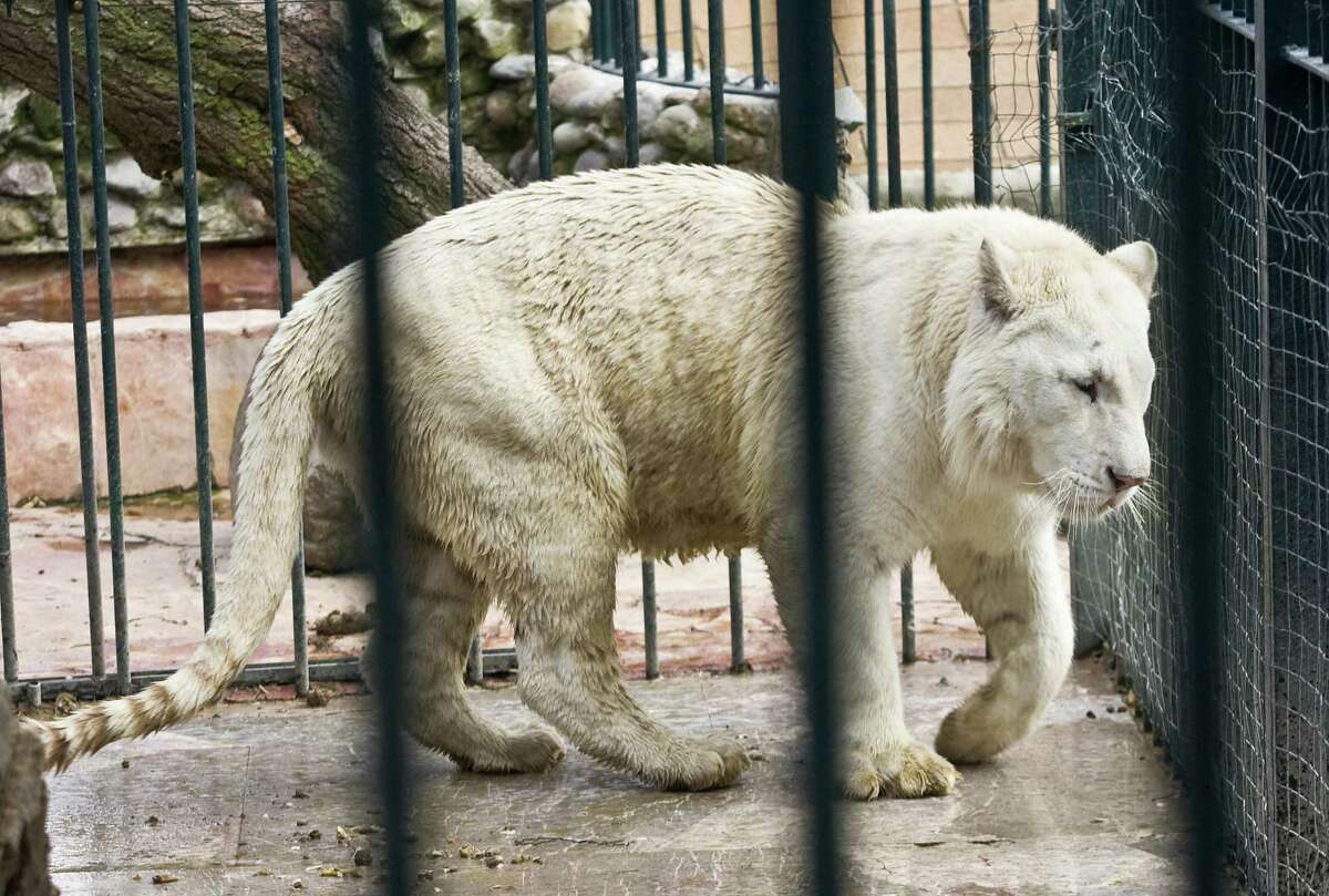 An albino tiger remains in its cage in the house where 15 members of the Beltran Leyva brothers cartel were arrested in Alvaro Obregon district, Mexico City, on October 20, 2008. The detainees, 11 of which are Colombian, were presented to the press on October 19, 2008. AFP PHOTO/Ronaldo Schemidt
