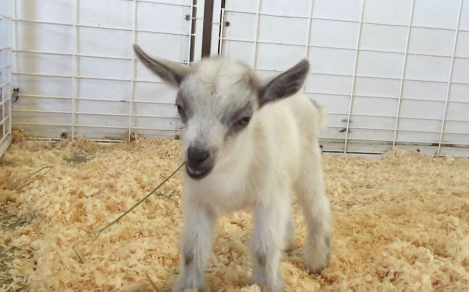 GusGus, a baby pygmy goat who vanished from the Arizona State Fair in Phoenix, is back home.  in this October 2015 photo provided by Emilie Owen. Fair officials say GusGus was taken from the petting zoo at the fair Wednesday, Nov. 4, 2015,  leaving his mother without her kid. (AP photo/Courtesy of Emilie Owen) Photo: HONS / Courtesy of Emilie Owen