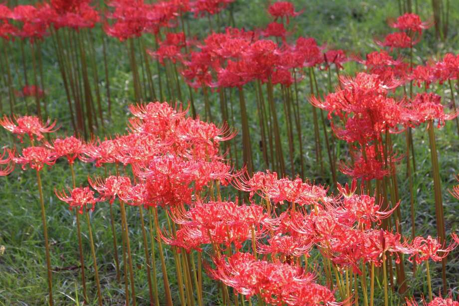 Lycoris radiata, also known as red spider lily and hurricane lily, often pop up after a shower. Photo: Chris Wiesinger / Chris Wiesinger
