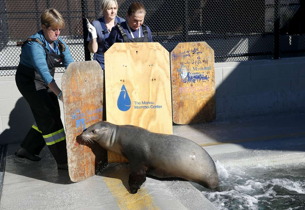 Volunteers Dana Angus (left), Tamyra Thomas (center) and Jennifer Weller keep Half Moon at a distance during her afternoon feeding at the Marine Mammal Center in Sausalito, Calif. on Friday, Nov. 6, 2015. Half Moon is among the many sea lions that have been treated for domoic acid toxicity. Warming ocean temperatures are taking a toll on the marine ecosystem.