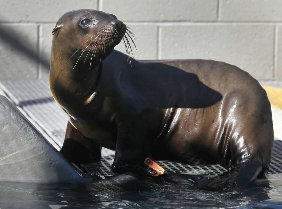 Danzig recuperates at the Marine Mammal Center in Sausalito, Calif. on Friday, Nov. 6, 2015. Veterinarians suspect the male yearling sea lion may have contracted domoic acid from his mother in utero. Warming ocean temperatures are taking a toll on the marine ecosystem. Photo: Paul Chinn, The Chronicle