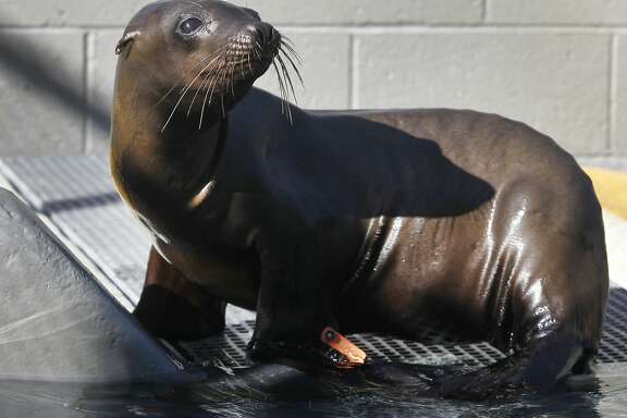 Danzig recuperates at the Marine Mammal Center in Sausalito, Calif. on Friday, Nov. 6, 2015. Veterinarians suspect the male yearling sea lion may have contracted domoic acid from his mother in utero. Warming ocean temperatures are taking a toll on the marine ecosystem.