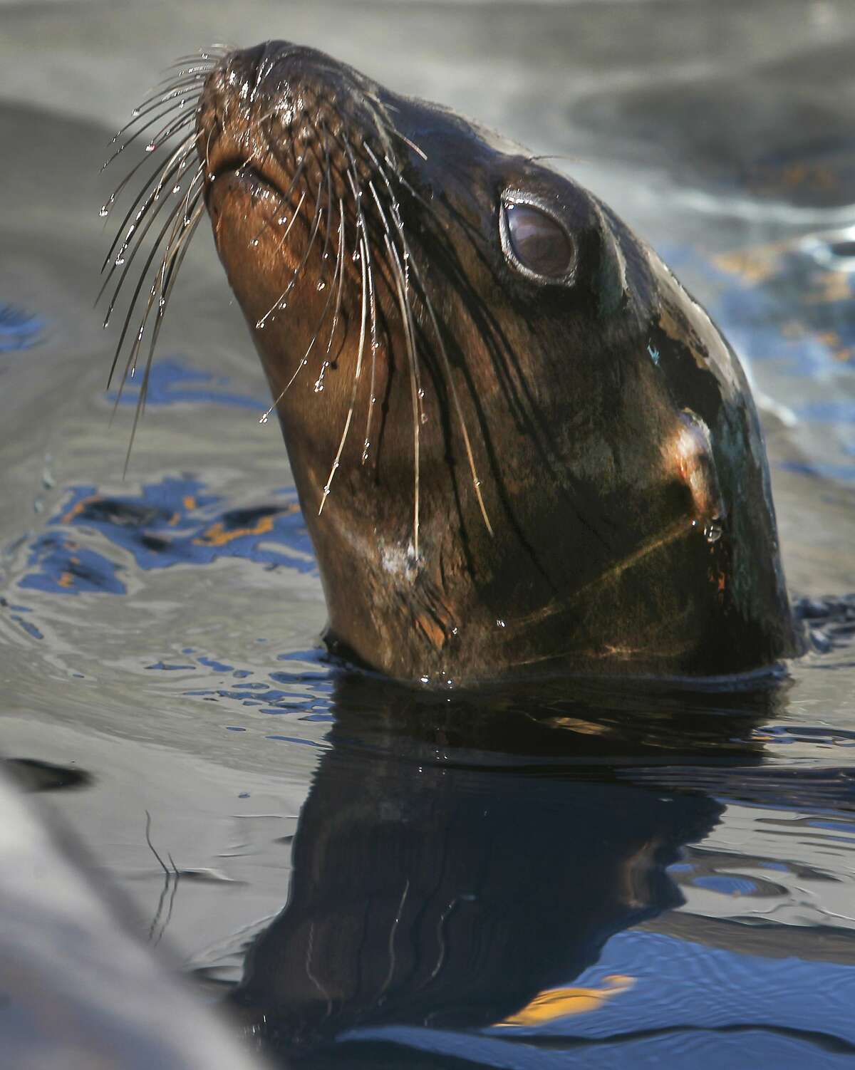 Danzig swims in his pen while rehabilitating at the Marine Mammal Center in Sausalito, Calif. on Friday, Nov. 6, 2015. Veterinarians suspect the male yearling sea lion may have contracted domoic acid from his mother in utero. Warming ocean temperatures are taking a toll on the marine ecosystem.