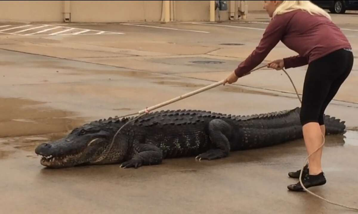 Authorities wrestled a 50-year-old, 800-pound, 12-foot long alligator into submission in November after it was discovered in a Sugar Land mall parking lot. Read the story here.