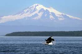 FILE - In this July 31, 2015, file photo, an orca or killer whale breaches in view of Mount Baker, some 60 miles distant, in the Salish Sea in the San Juan Islands, Wash. Two California Congressmen announced plans Friday, Nov. 6, 2015 to introduce the Orca Responsibility and Care Advancement Act. The proposed federal legislation aims to phase out the captivity of killer whales by banning breeding, importing and exporting the animals for public display to ensure that orcas now at aquatic parks such as SeaWorld are the last ones and that when they die, none will replace them. The bill also would ban taking any whales from the wild. (