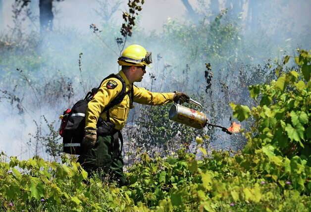 Forest Ranger Jason Seeley lays down a line fire Thursday afternoon in the Pine Bush Preserve Thursday afternoon July 16, 2015,  to burn off old vegetation to make way for new plants for the endangered Karner Blue butterfly feed and thrive on in Albany, N.Y.       (Skip Dickstein/Times Union)  Twenty acres of the Albany Pine Bush Preserve were torched Thursday in the Karner Barrens West area during a controlled burn. The fires are set to achieve the goals of reducing fuel in an effort to minimize the risk of serious wildfires, and to return the area to pitch pine scrub oak barons. The latter being favored by endangered species such as the Karner Blue butterfly. The preserve has a goal of burning 200 acres for the year. Thursday's controlled fire brought their total to 146 acres, said Tyler Briggs, fire management specialist at the Preserve. The burn is conducted by staff, volunteers, Forest Rangers and DEC personnel. Crews will continue burning in the same area Friday lunchtime, weather permitting. Photo: SKIP DICKSTEIN