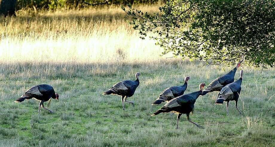 Fancy some wild turkey for your Thanksgiving dinner? Photo: Katy Raddatz, SFC
