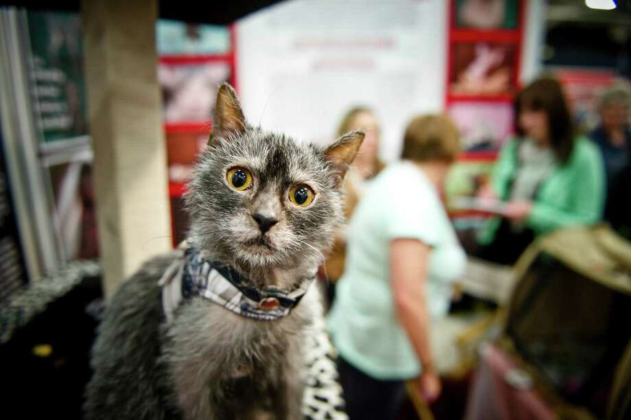 "A seven-month-old ""werewolf cat"", Susi, at the World of Dogs and Cats Pet Expo on July 15, 2014 in Johannesburg, South Africa. Susi is one of 13 natural mutant Lykoi cats in the world and the only one in South Africa. Elizabeth Swart of Disal Sphynx Cattery says genetic tests confirmed that the cat is not related to any other cats. Photo: Foto24, Getty Images / 2014 Gallo Images (PTY) LTD"
