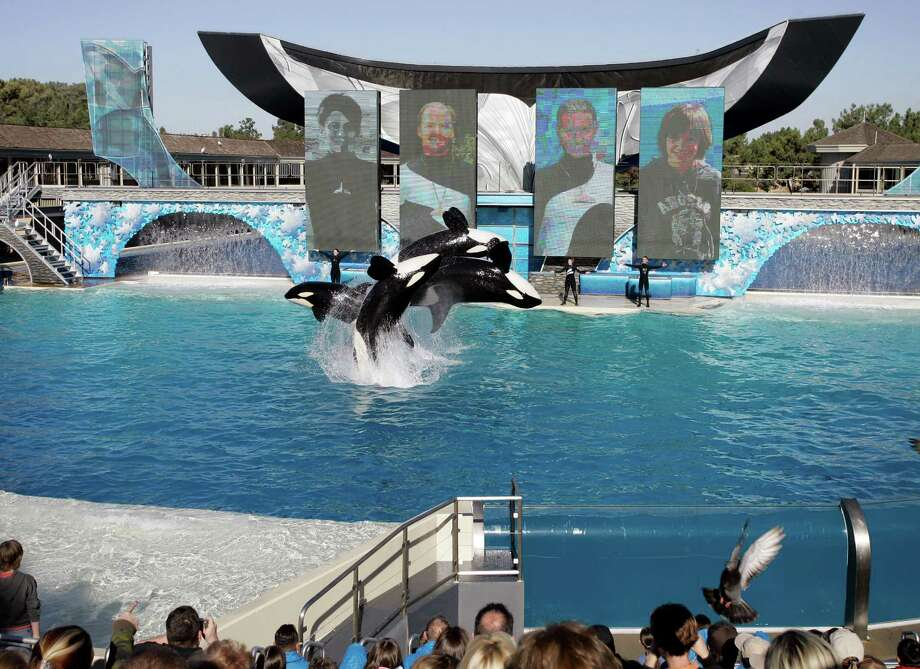 FILE - In this Nov. 30, 2006, file photo, four killer whales, including Kasatka and her calf, Kalia, leap out of the water while performing during SeaWorld's Shamu show in San Diego. A SeaWorld executive says orca shows at the company's San Diego park will end by 2017. CEO Joel Manby cited customer feedback as the reason for the move in an announcement Monday, Nov. 9, 2015, to investors. Manby said the park would offer a different kind of orca experience and focus on the animal's natural setting and behaviors. (AP Photo/Chris Park, File) Photo: Chris Park, STR / AP