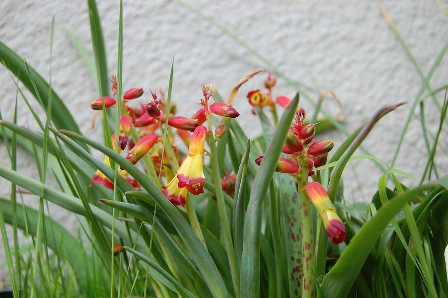 Lachenalia tricolor Photo: Earl Nickel