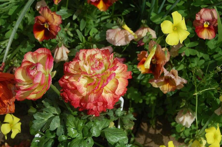 Ranunculus variety Photo: Earl Nickel