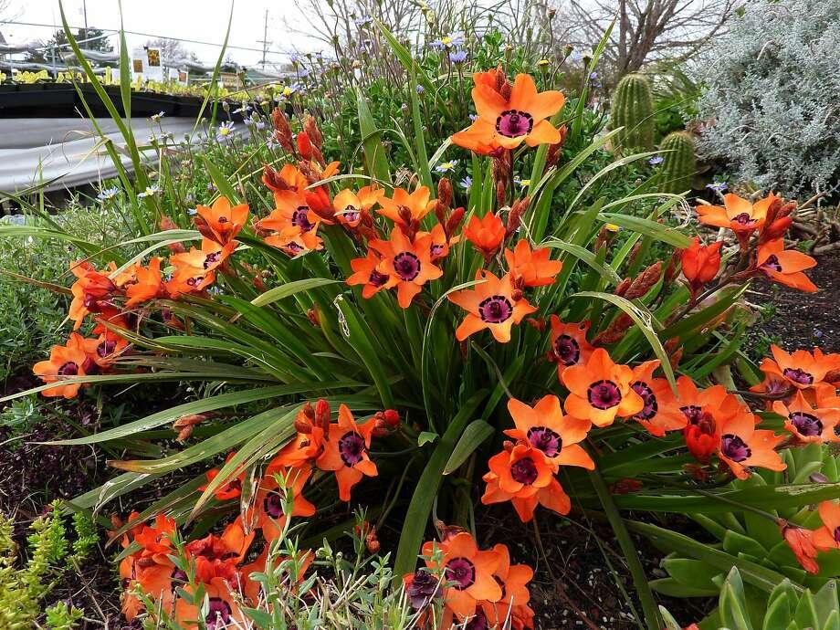 Sparaxis elegans Photo: Annie's Annuals & Perennials