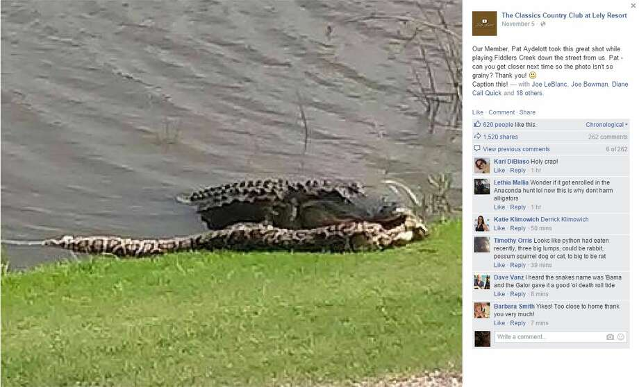 The Classics Country Club at Lely Resort in Naples, Florida, posted a photo to their Facebook page of an alligator seemingly getting the upper hand in a fight against a Burmese python. Photo: Screenshot Via Facebook