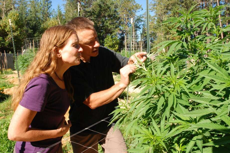 FILE - In this June 25, 2015 file photo, Oregon SunGrown Growers' Guild President Cedar Grey and his wife, Madrone, examine one of their medical marijuana plants at their garden in Williams, Ore.  With Southern Oregon in a drought, many rural residents don't believe wells on rural residential and woodland resource lands should be tapped for high-intensity marijuana grows. They think marijuana growers should instead obtain legal water rights and use water from irrigation districts. (AP Photo/Jeff Barnard, File) Photo: Jeff Barnard, Associated Press