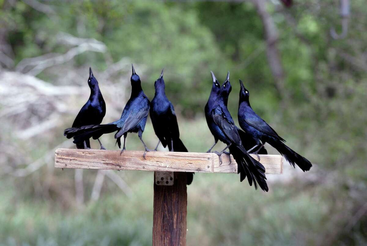 Grackles are protected under the Migratory Bird Treaty Act of 1918. It is a federal crime to capture, injure or kill grackles (including their eggs).
